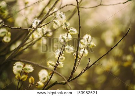 Blooming willow branch in springtime, seasonal vintage easter background with copy space