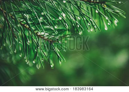Abstract background from conifer evergreen pine tree branches with dew water drops, natural outdoor hipster concept