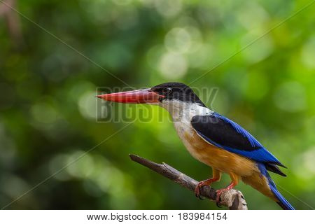Bird (black-capped Kingfisher) On A Tree