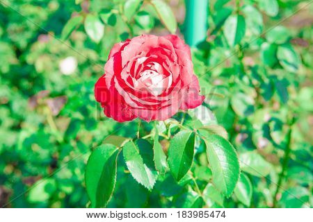 Vibrant red pink roses growing in the summer garden