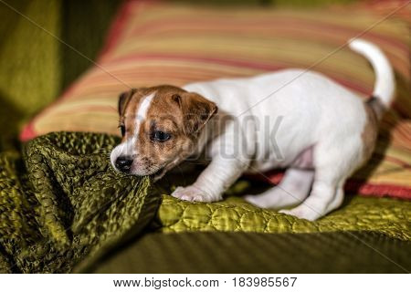 Mottled, brown and white Jack Russell puppies.
