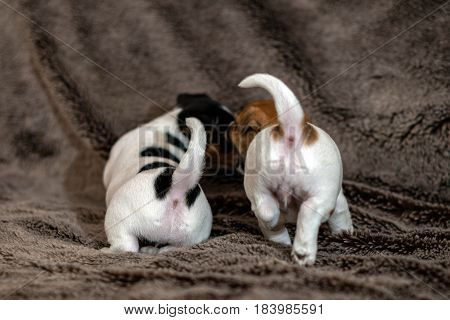 Mottled brown and white Jack Russell puppies.