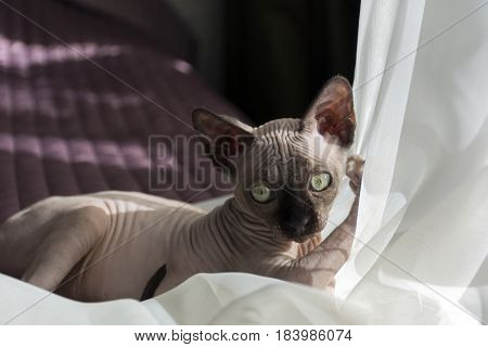 kitten bald Sphynx plays with tulle pleated leather eye
