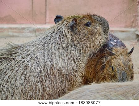marmot wild animal leaning together in the park