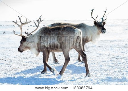 Reindeer grazing in the tundra during winter