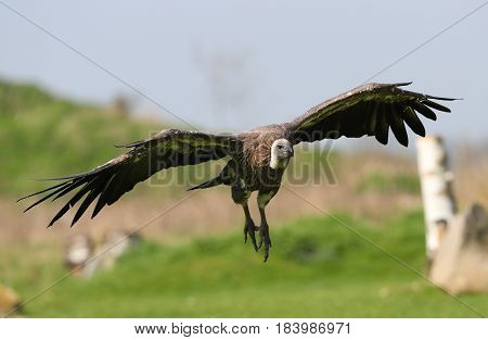Close up of a Griffon vulture coming into land