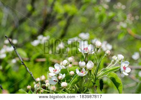 Wild apple tree flowers and bossoms in while and red colors