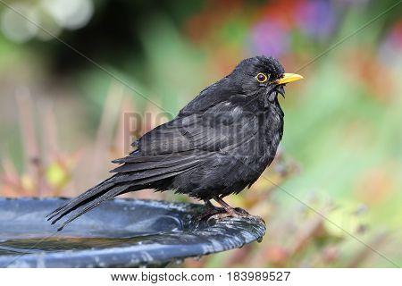 Close up of a wet Blackbird after taking a bath