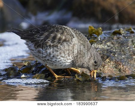 Purple sandpiper looking for food in its habitat