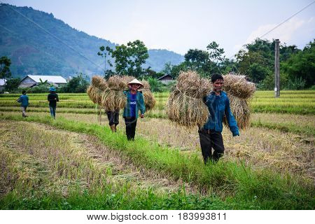 Harvesting Rice In Northern Vietnam