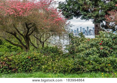 A veiw a Dogwood tree with flowers at Hamilton Viewpoint Park in West Seattle Washington.