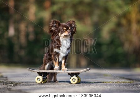 adorable chihuahua dog posing on a skateboard