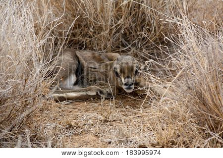 A Grant's gazelle fawn hides in the dry savannah grass