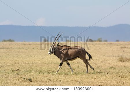 An oryx runs across a grassy plain