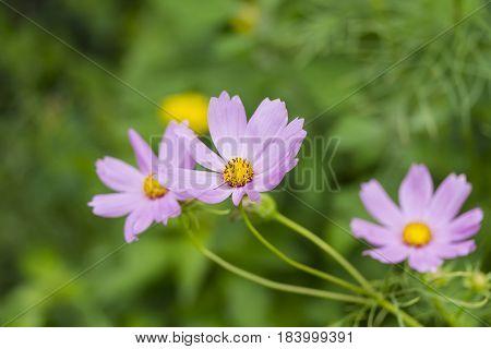 a lavendar wild flower from the garden