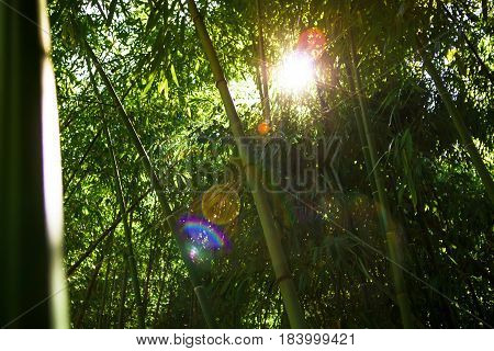 Bamboo forest and sun rays. Natural texture