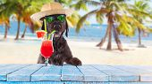 Black mutt dog posing on the beach with colorful cocktail. poster