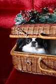 Japanese Chin  in a wicker basket poster