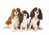 Three dog breeds Cavalier king charles spaniel isolated on a white background poster