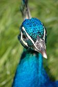 photograph of peacock head isolated against grass poster