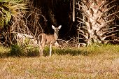 Florida Deer emerges from the forest to graze poster