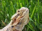 A Bearded Dragon in front of a blurred out grass backroud. poster