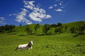 cow lying on the grass poster