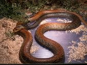 The Taipan is considered to be one of the most dangerous snakes in the world. These are giant (4 m) fastnervous and highly venomous snakes found in Australia and Papua New Guinea. poster