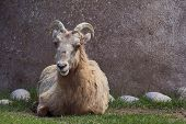 this is a bighorn sheep lying next to a huge boulder for shade poster