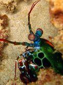 Mantis Shrimp on a sandy sea bed poster
