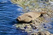 A lazy wild sea lion on a sunny day. poster