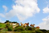 grazing herd of goats on a hill in the heather fields poster