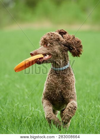 Brown Standard Poodle Running And Jumping Joyfully In A Meadow. Playful Dog Playing With A Toy In Th