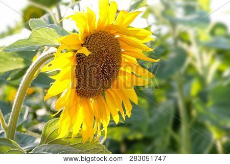 Beautiful Blooming Sunflower. The Concept Of Farm Harvest, Summer Season Nature Background
