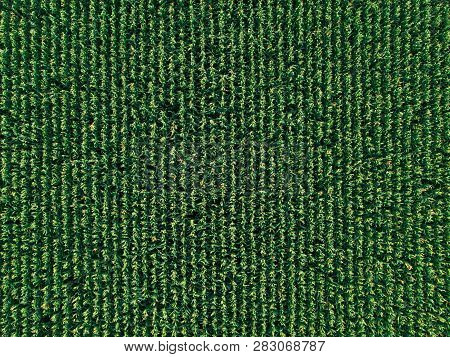 Aerial Drone Top View Of Cultivated Green Corn Field, Abstract Texture Of Agricultural Plantation Fr