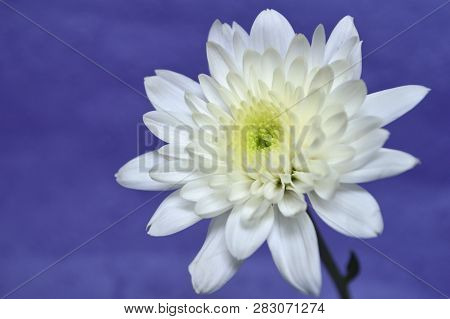 White Chrysanthemums Flower, Chrysanthemum Sp., On Purple Background