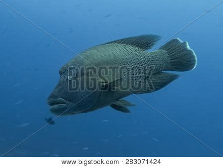 Giant Humphead Napoleon Wrasse Covered In Intricate Patterns Adn Shapes With Bulging Eye Underwater