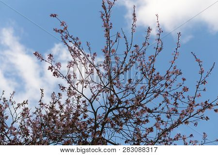 Dramatic Plum Blossom Tree Blooming With Pink Flowers, With Clouds And Blue Sky, In San Francisco, C