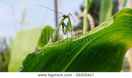 Praying Mantis Bathing