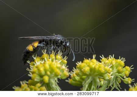 Scolia Hirta (hymenoptera, Scoliidae) Sitting On A Yellow Flower, Vienna Austria