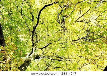 Cestnut Tree