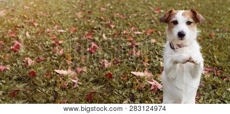 Webside Banner Autumn Dog. Jack Russell Puppy Standing On Two Hind Legs And Begging On Praying Gestu