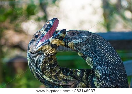 Two Lace Goannas, Australian monitor lizards fighting ferociously. The Goanna features prominently in Aboriginal mythology and Australian folklore, with strong claws and powerful legs. poster