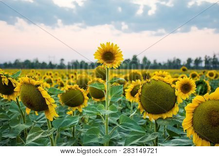 Stand Out And Be Different Concept Photo. Sunflower Head Is Above And Stands Out Among All Other Sun