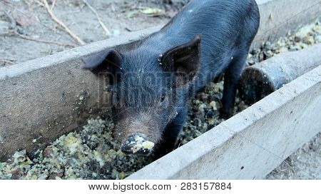 Little piglet eating from trough on farm yard poster