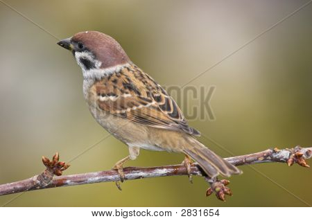Beautiful Sparrow On Branch