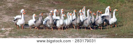 Geese Walking On Field In Countryside. White Goose Walking In Countryside