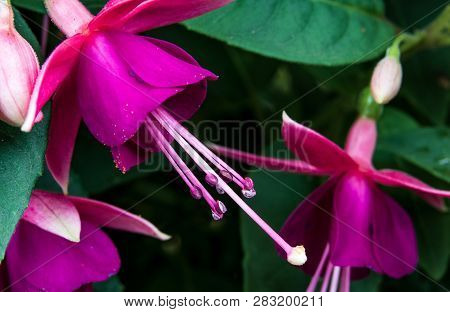 Abstract Close Up Fuchsia Blooms With Leaves