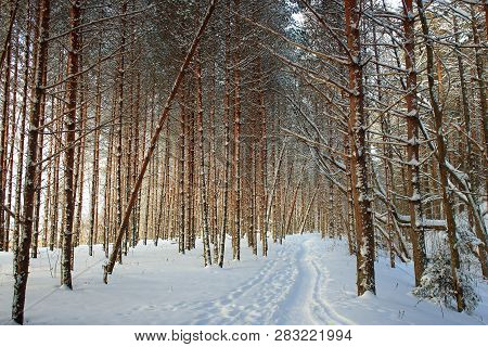 The pine trees with snow in the sun. Snowy road in the forest in the morning. Christmas tree in the snow. Snow on the pine. Beautiful Winter forest. The spirit of Christmas. The snow on the branch. Pine under snow