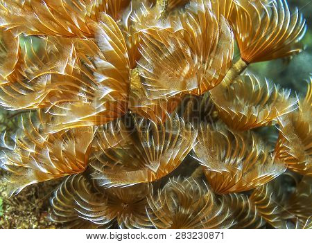 Sabellidae,feather Duster Worms Are A Family Of Sedentary Marine Polychaete Tube Worms